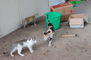 These cats hang around our front door looking for scraps. We just about wipe out tripping on them when we walk out the door! There are 5 more cats that aren't even in this picture. We have tried to give them away, but they just keep coming back. The kitten in the back was given to a family that lives 5 miles away... and 2 weeks later he was back meowing at our front door at 11 pm!!