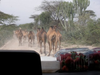 This is the view from our car. We pick up strawberries on the side of the road on the way down from Addis and they are strewn out wherever we can find space in the car. Then there are camels blocking our path. Allyson is often riding with about 10 crates of eggs on her lap (30 eggs per crate). The whole scene is pretty hilarious.